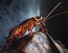 Cucarachas sobreviven a ataque nuclear