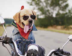 Perro conduce motocicleta