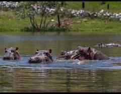 Hipopotamos de Pablo Escobar.jpg