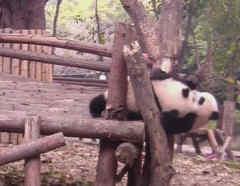 pandas bebes jugando