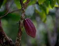 EE.UU. invertirá 64 millones en la producción de café y cacao del Salvador