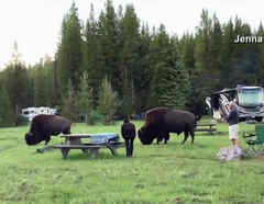 Bisonte ataca a una mujer