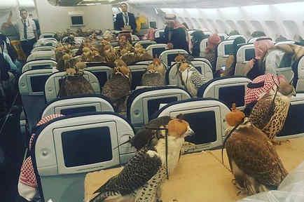 80 halcones viajan en avión con príncipe saudita