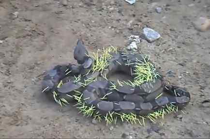 Esta serpiente intentó comer un puercoespín