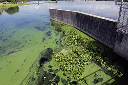 Acumulación de alga en un río en Alva, Florida
