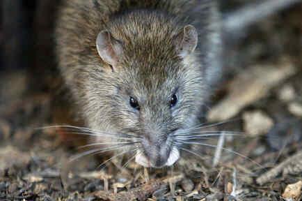 Una rata merodea por los alrededores de París.