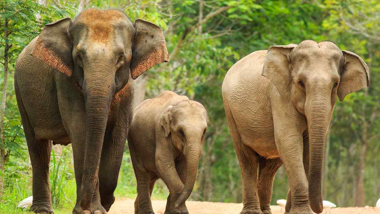 Cu ntas horas duerme un elefante telemundo - Como se aparean los elefantes ...