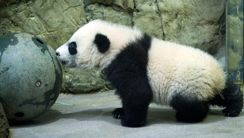 Oso panda cachorro