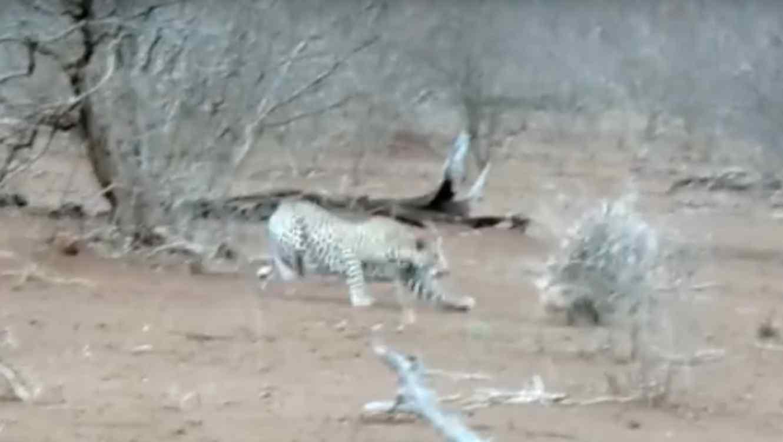 Leopardo ataca a puercoespin