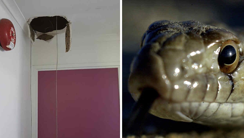 Una enorme serpiente rompió el techo