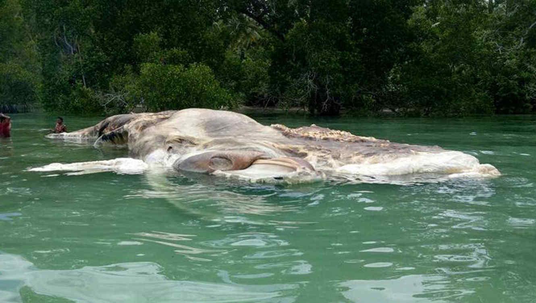Descubren qué era la criatura flotante en indonesia