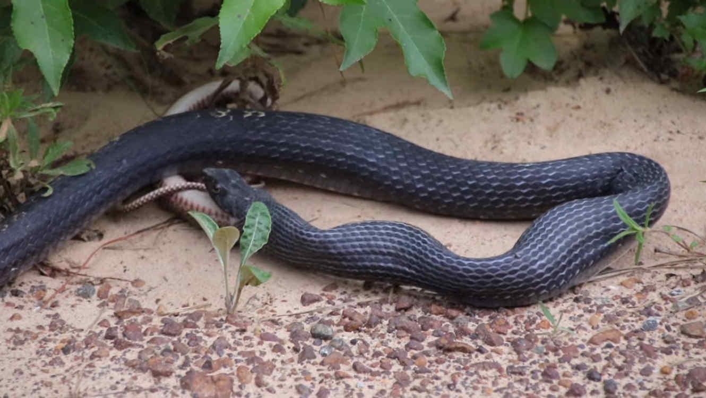 Una serpiente regurgita a otra