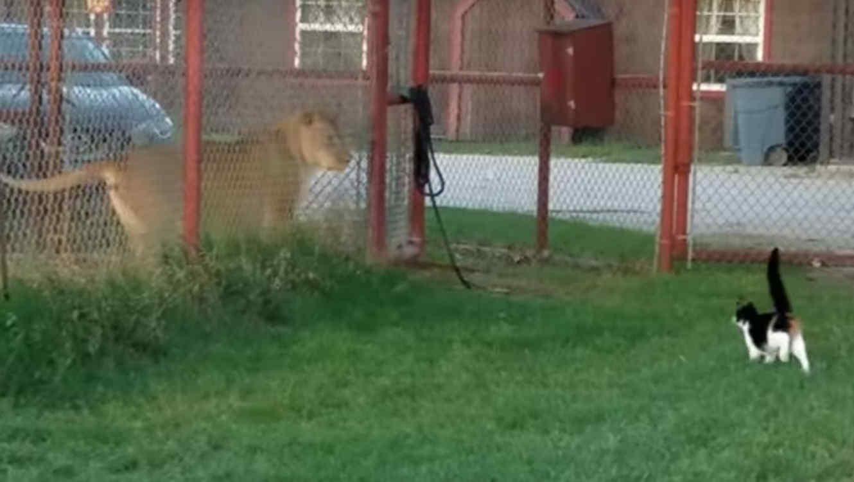 Un gato demostró su valentía al intentar atemorizar a una leona
