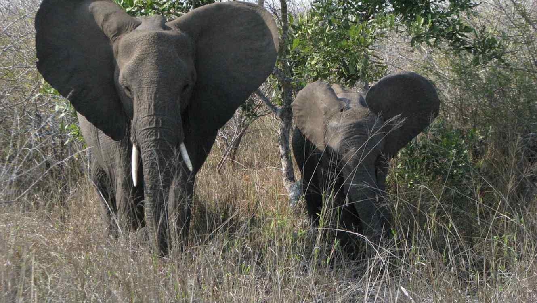 Dos elefantes adultos rescatan a una cría que cayó en una piscina