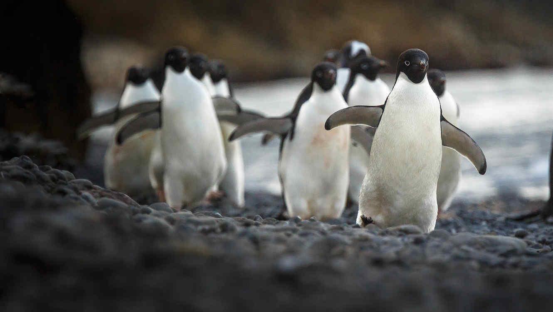 Acuario exhibe a pingüinos malvados.