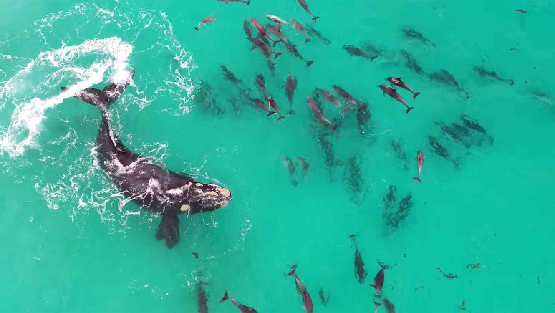 Captan a una ballena jugando con decenas de delfines