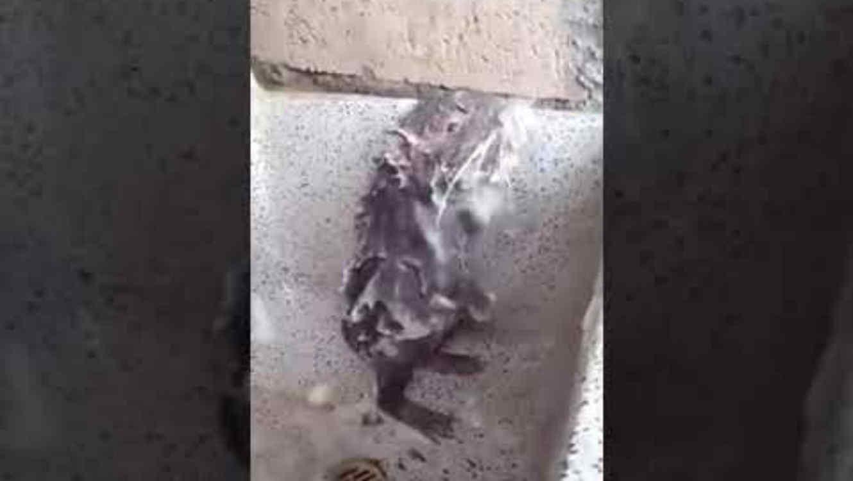Rata bañándose como humano se vuelve viral