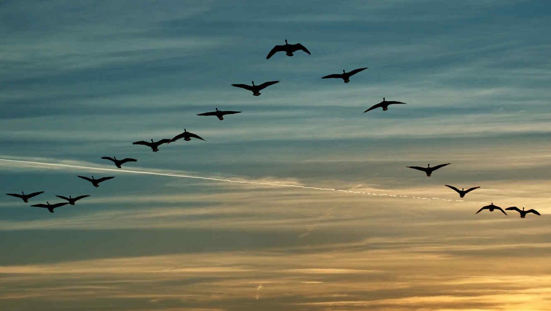 Migración de aves