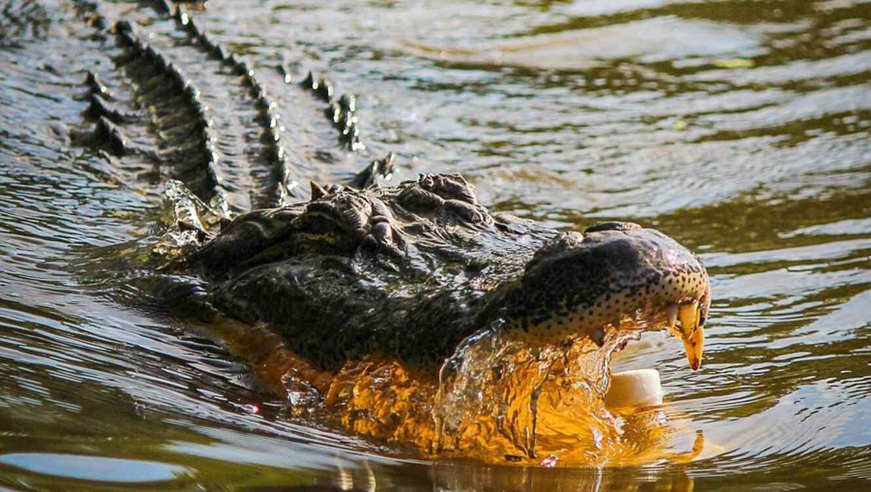 Confirman que caimán mató y devoró a mujer de Florida