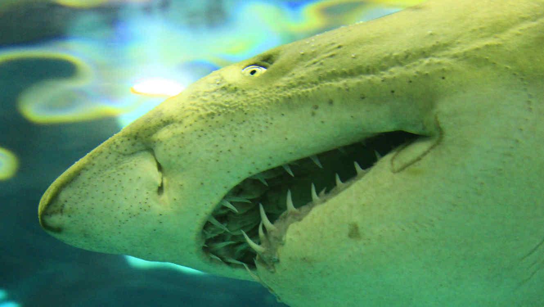 El tiburón blanco que medía entre 12 y 13 pies, hundió sus espeluznantes hileras de dientes en un tiburón de cola negra. (Fotografía ilustrativa)