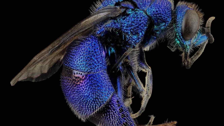 Avispa en el amazonas inyecta huevos cuando pica