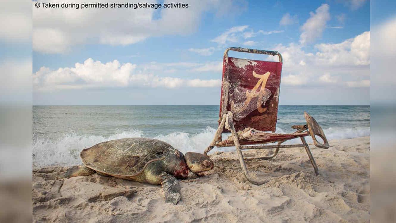 Muere tortuga marina con correa enredada al cuello
