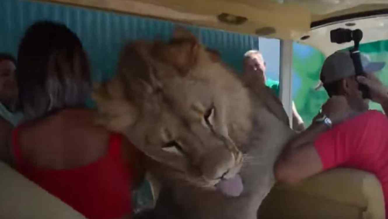 León salta sobre turistas