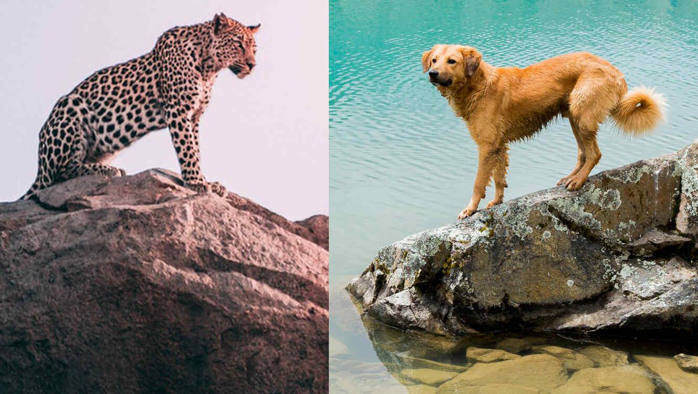 Un perro callejero ahuyenta a leopardo