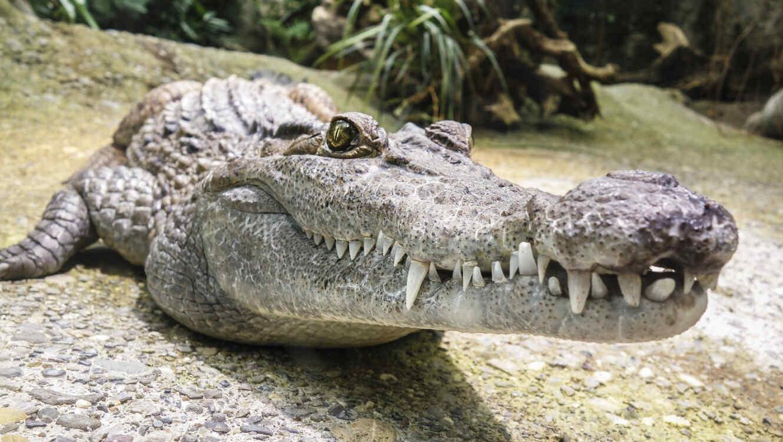 La mujer mató al caimán con un solo disparo en la cabeza. (Foto ilustrativa)