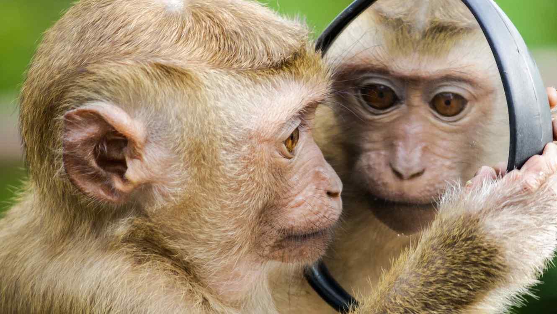 Mono junto a espejo