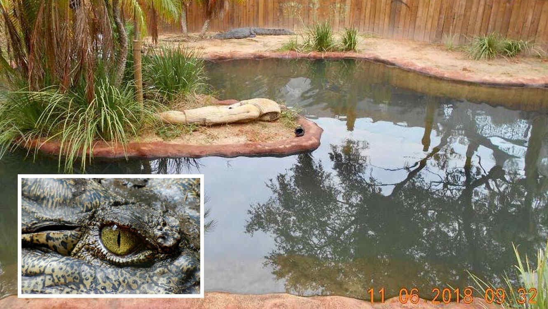 cocodrilo en estanque