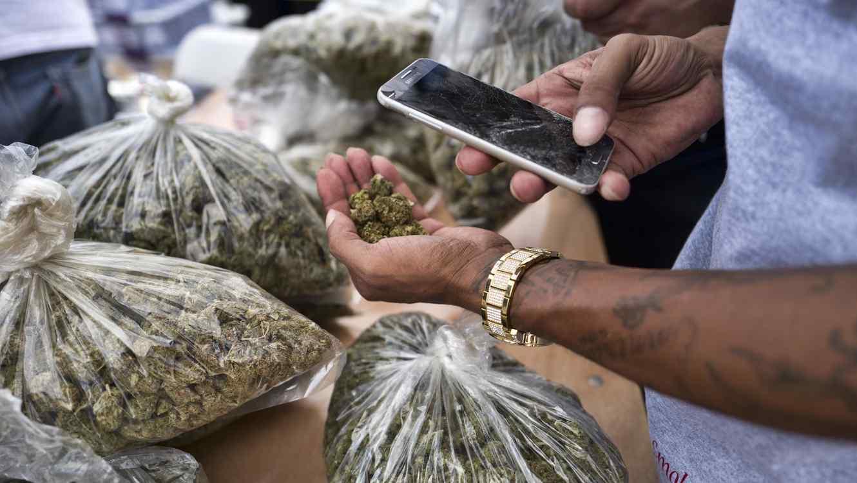 Un hombre toma foto a los brotes de la flor del cannabis