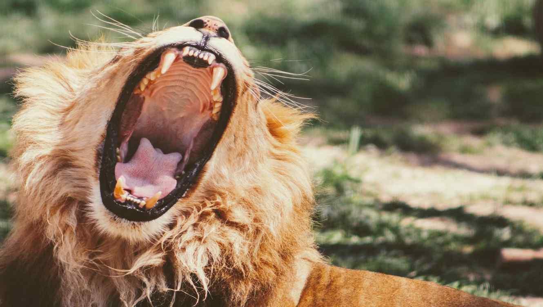 El leopardo hace algo sorprendente ante el león.