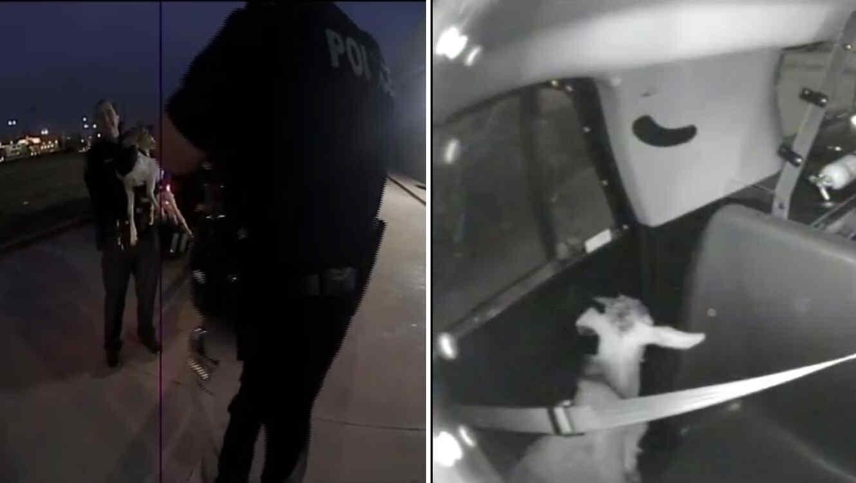 La policía de Carrollton Texas persiguió y detuvo al animal el pasado jueves 8 de noviembre.