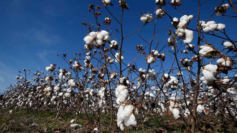 Granjeros cosecharon el algodón de un amigo enfermo de cáncer