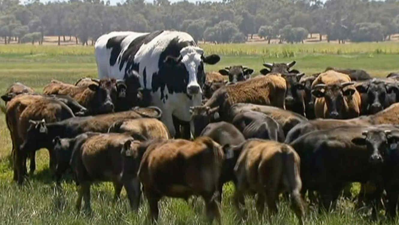 vaca knickers