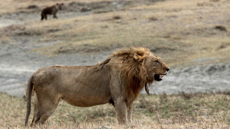 Un leon rodeado por hienas