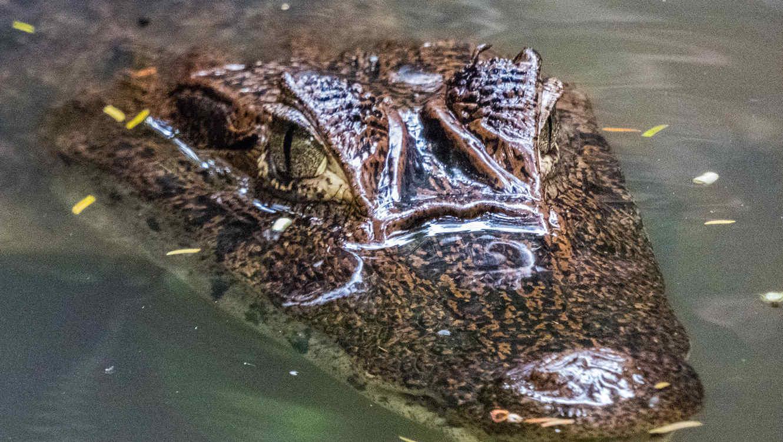 Cae a estanque con caimanes hambrientos durante un show