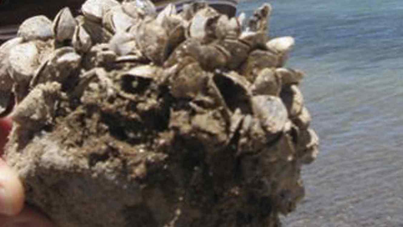 Las conchas de los mejillones se volvieron su peor enemigo.