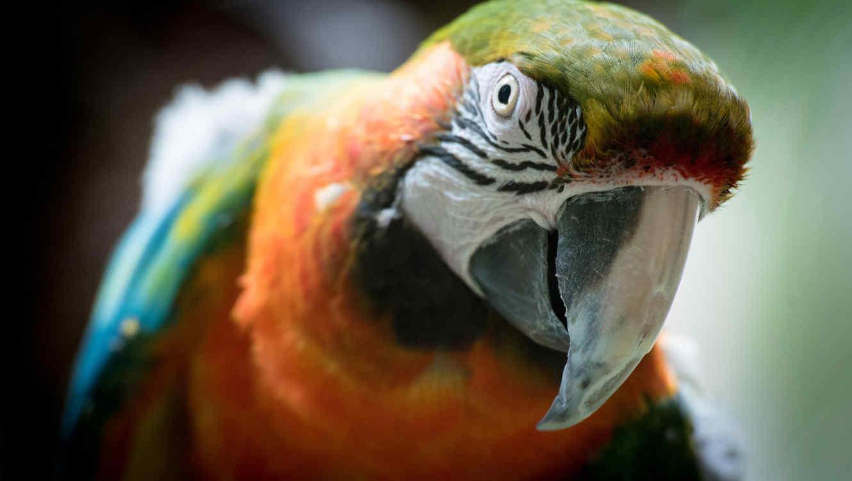parrot irina blok
