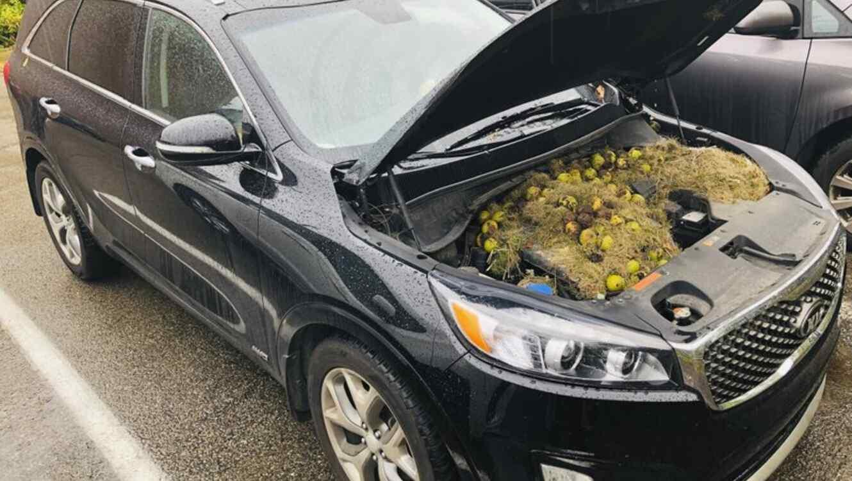 Ardillas esconden nueces en motor de camioneta