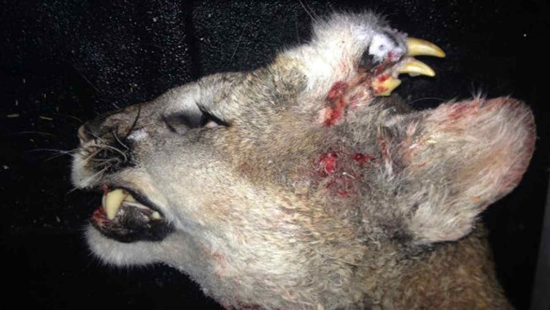 Encuentran puma con una dentadura en la cabeza