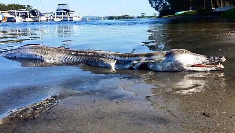 Extraña criatura con cuerpo de cocodrilo y cabes de delfín es encontrado en Australia