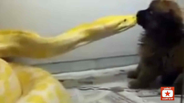 Video de serpiente pitón devorando un perro
