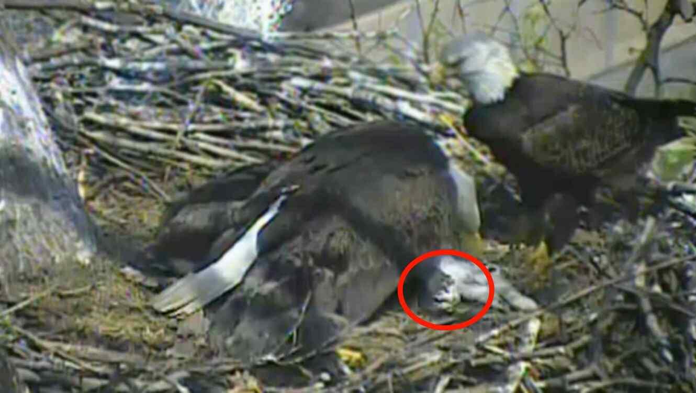 Cámara captura el momento en el que unas águilas alimentan a sus ...