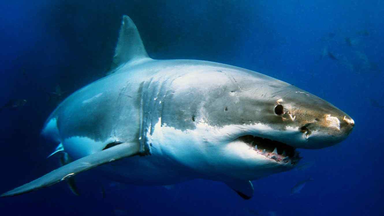 Tiburón blanco en el agua