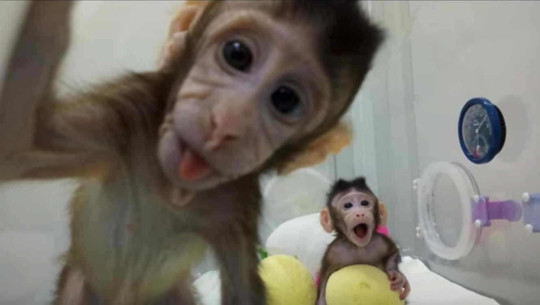 China logra primera clonación de macacos