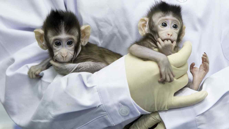Dos monos clonados