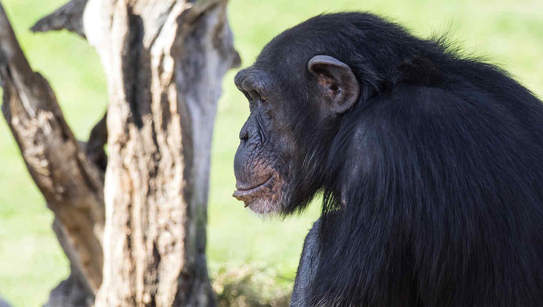 Aseguran que científicos crearon un hibrido entre chimpancé y humano en 1920