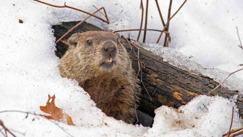 Marmota en la nieve